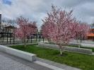 Kirschblüte_1